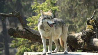Minnesota wolves hounded as hunting licenses increase