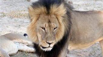 Zimbabwe: Minnesota dentist faces charge of lion poaching