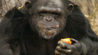 All but 50 U.S. research chimps to be retired