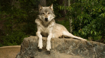 Gray wolf gets endangered species protection in California