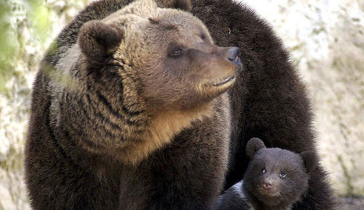 Canada expands outrageous grizzly trophy hunt