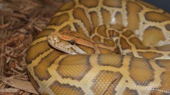 Pythons invading Everglades, hunting animals to extinction