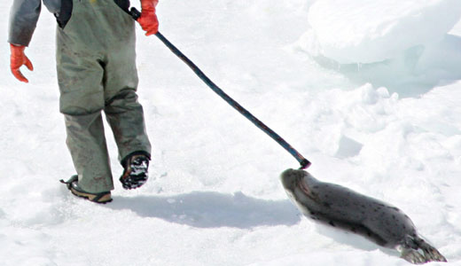 Is seal killing at an end?