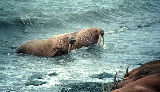 With walruses on thin ice, Shell pursues Arctic drilling