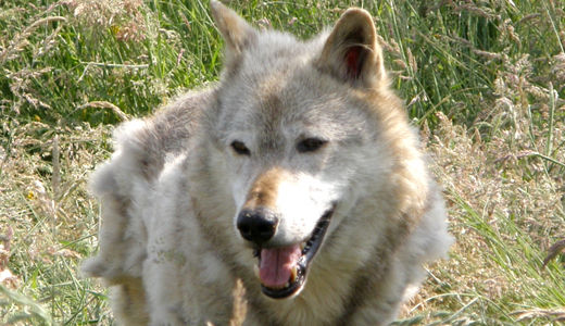 Animal protection thrown to the wolves