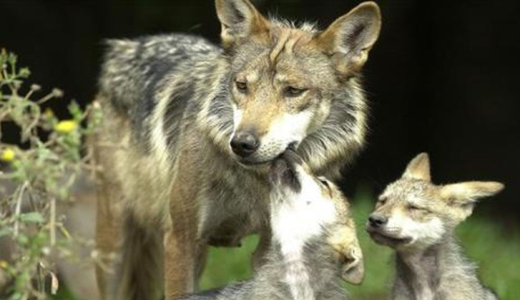 """From Idaho to Utah, """"wolf massacre"""" continues"""