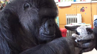 Koko the gorilla, 46: An 'icon for interspecies communication, empathy'
