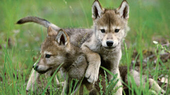 Days before election, Trump removes endangered species protections for gray wolves