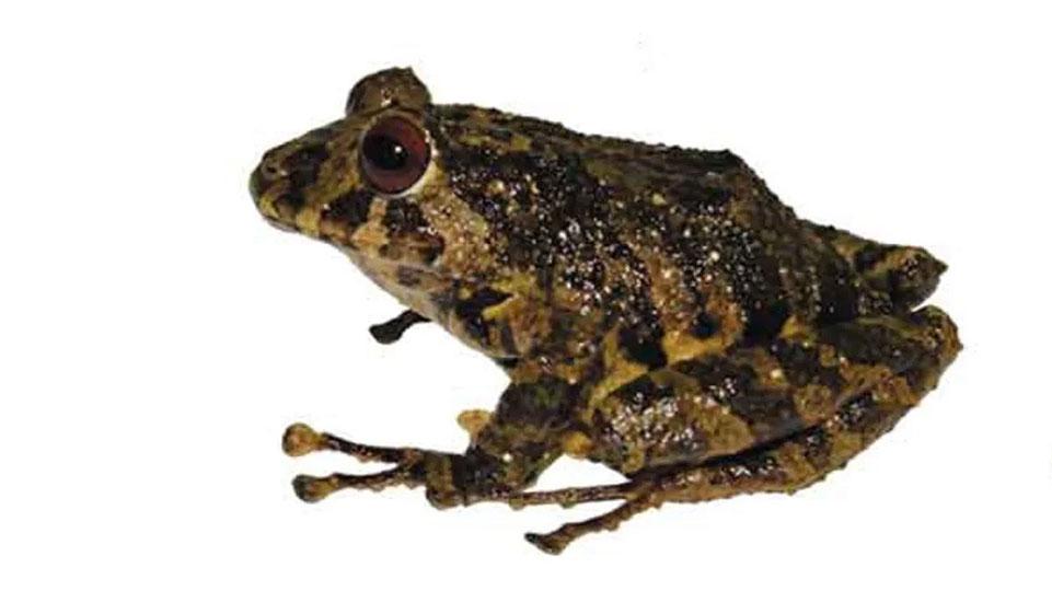 Unique Ecuadorian frog discovered, named after Led Zeppelin